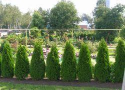 Вечнозелени храсти за жив плет