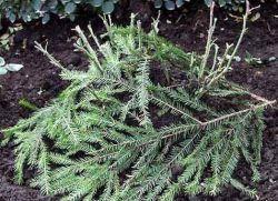 гибискус садовый зимовка