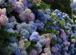 зимостойкие кустарники цветущие все лето