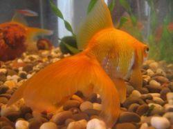 Золотая рыбка - содержание в аквариуме
