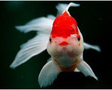 Золотая рыбка - уход