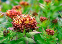 Золотой корень – лечебные свойства и противопоказания